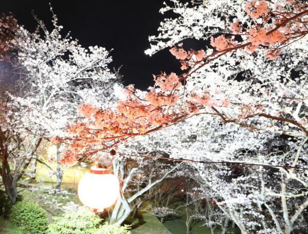 【愛媛】開山公園夜桜2021