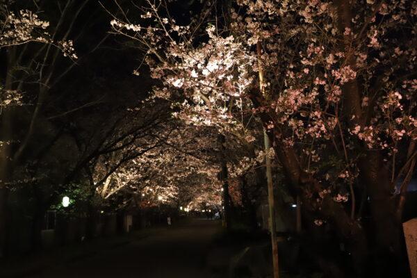 【徳島】岩脇公園 夜桜2021