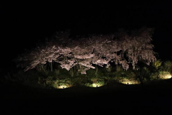 【徳島】神山町 夜桜